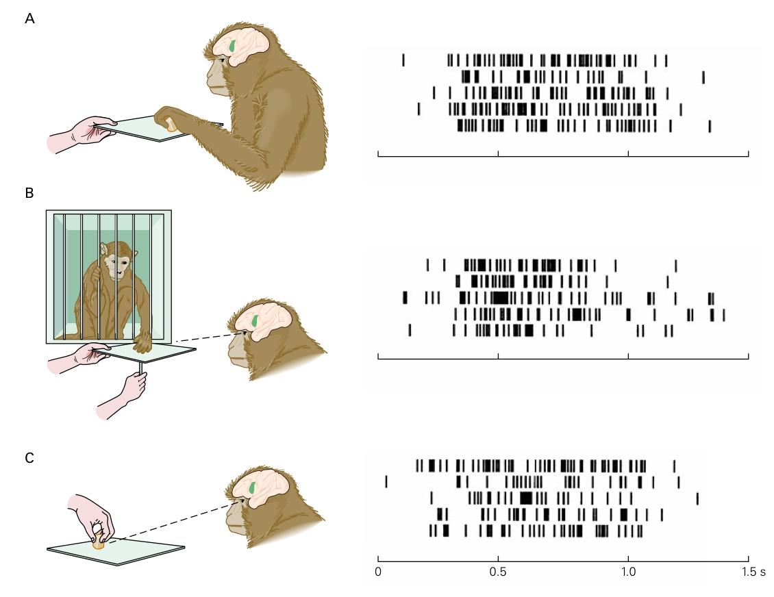I neuroni specchio e la codifica dello scopo andpalmieri - Neuroni a specchio rizzolatti ...
